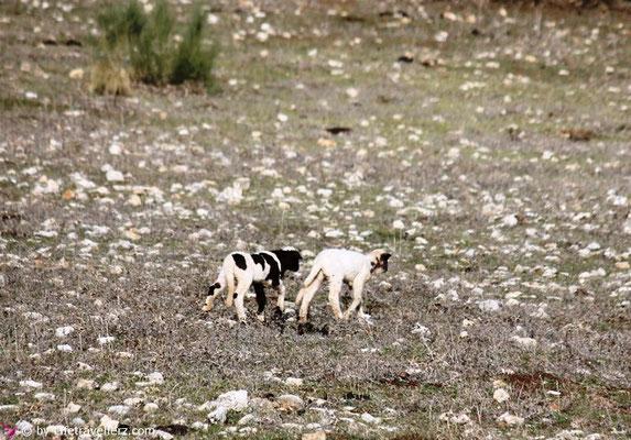 Schäfchen im Hinterland von Ronda