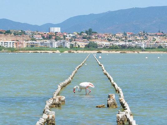 Flamingos in einer Salzlagune auf Sardinien