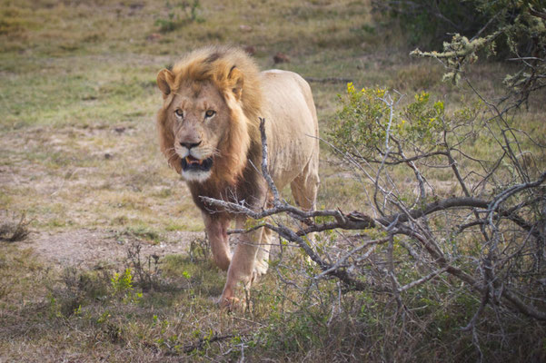 Löwen im Kariega Private Game Reserve