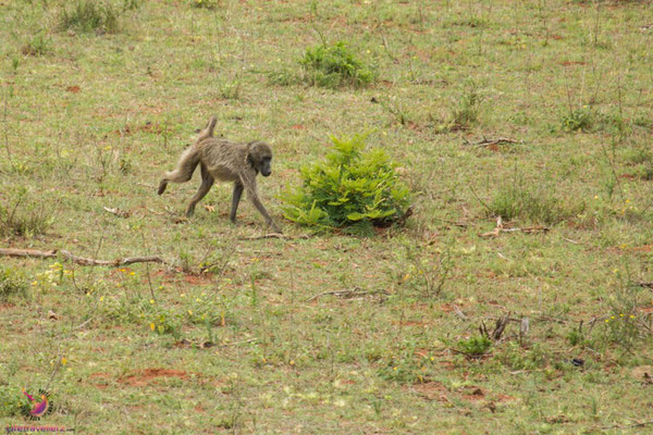 Pavian im Leshiba Wilderness H12