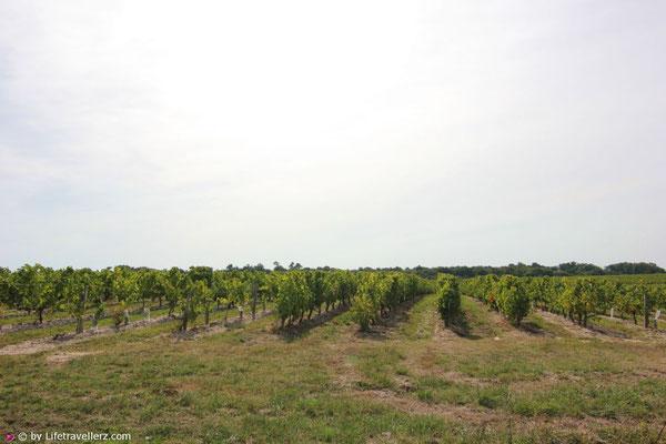 Weingarten an der Gironde