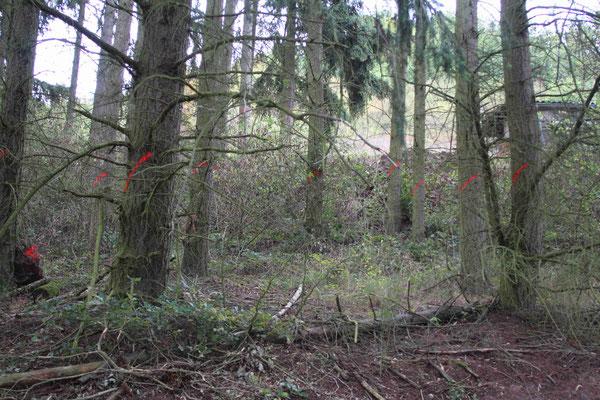 Markierte Douglasien für Baumfällung