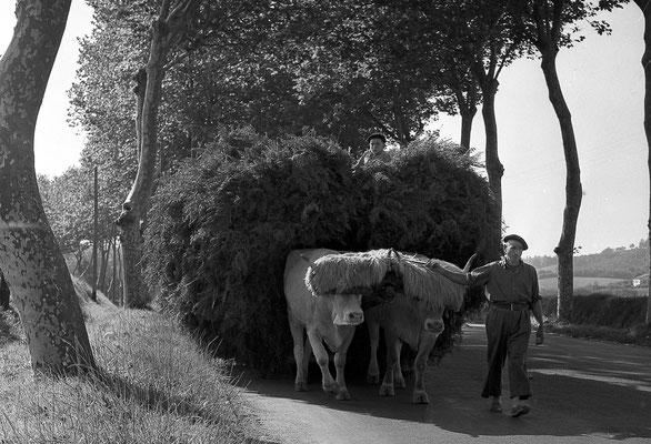 Attelage boeufs N10  1964 © Daniel Velez