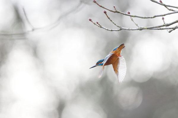 Eisvogel im Sturzflug