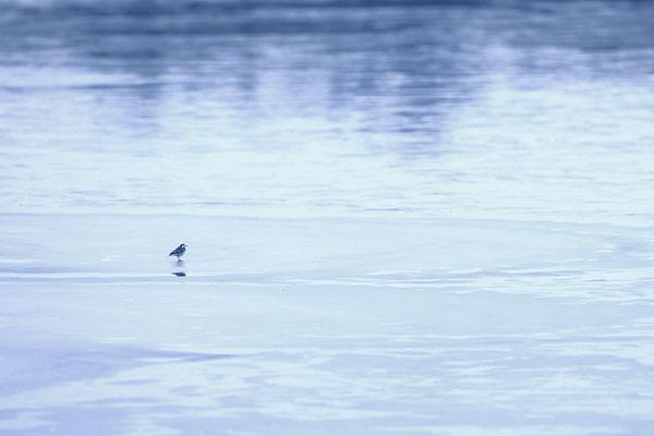 Bachstelze auf einer Eisfläche