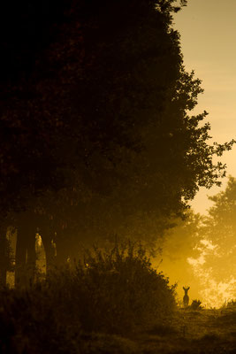 Rehbock im Morgenrot