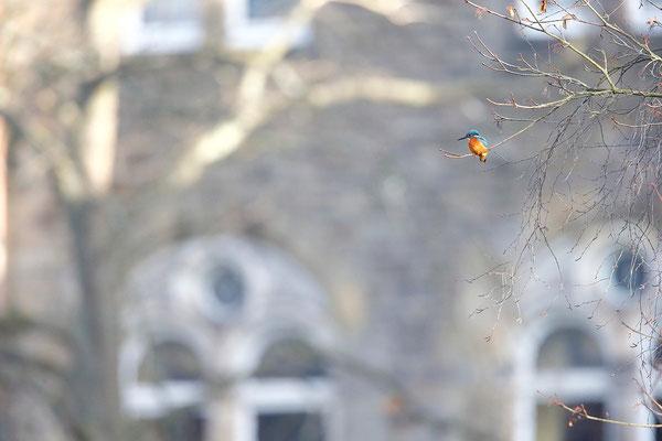 Eisvogel auf seiner Ansitzwarte