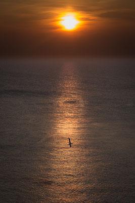 Basstölpel im Sonnenuntergang
