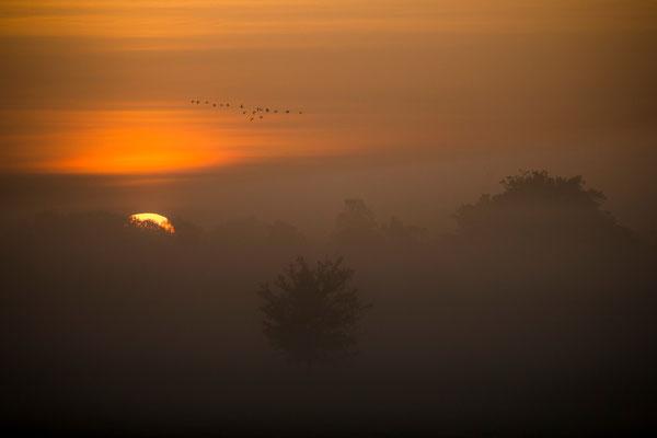Gänse (Sonnenaufgang)