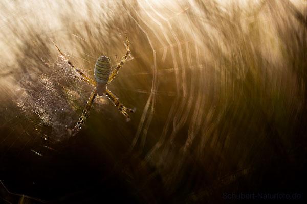 Wespenspinne im Morgnlicht