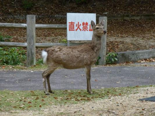 l'ile de Miyajima est le domaine des touristes, des moines et des biches