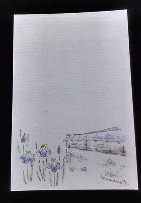 熊本地震復興募金絵はがき/熊本城長塀と肥後花菖蒲