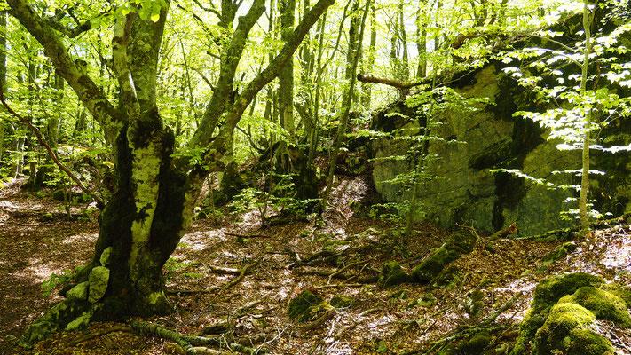Dans la forêt de hêtres. Izon Nature : hébergements et table d'hôtes insolites et écoresponsables dans la Drôme Provençale, trek dans la Méouge