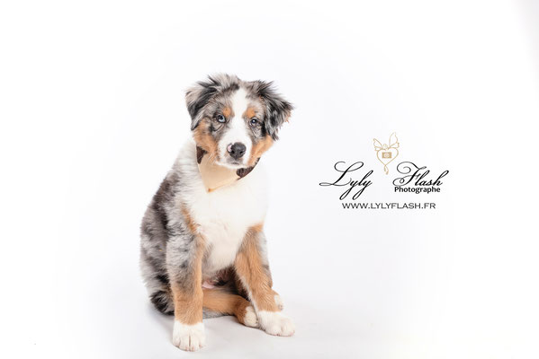 portrait photo de chiot en studio photo professionnel dans le var