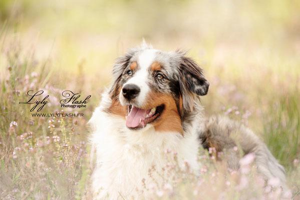 portrait de chien, portrait de berger australien, photographe professionnel du var
