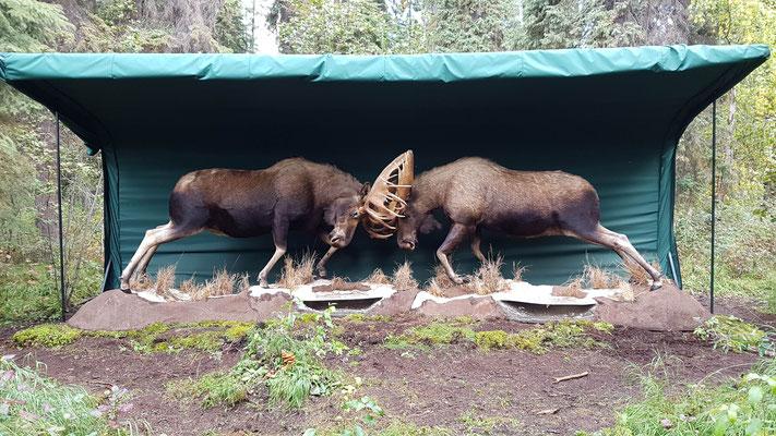 Diese zwei Elche wurden so eingefroren im Fluss entdeckt. Sie waren mit den Geweihen ineinander verhakt und starben dann beide...