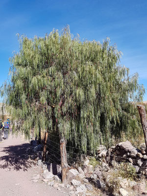Ein Pfefferbaum