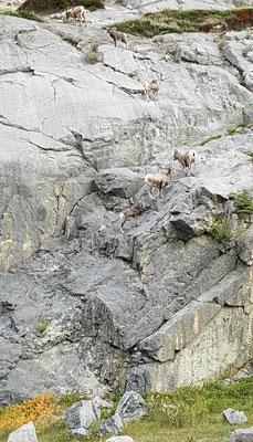 und noch mehr Bighorn Sheeps:)