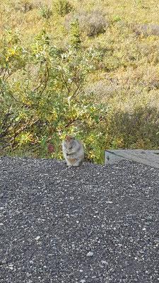 Ein arktisches Eichhörnchen