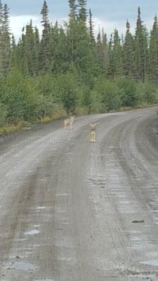 Zwei junge, neugierige Wölfe