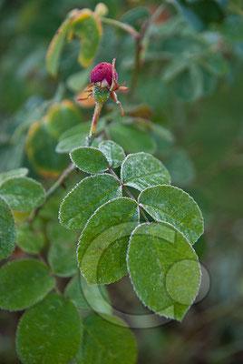091202_DSC0035 Rose Raureif Knospe