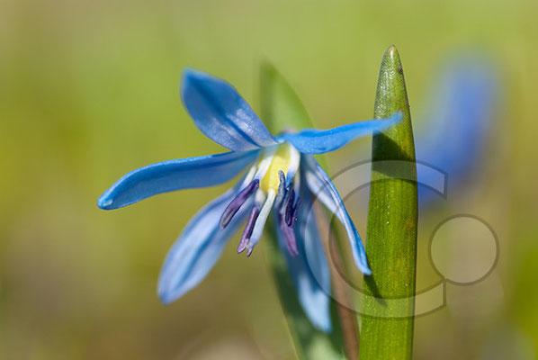 100322_DSC0043 Scilla sibirischer Blaustern