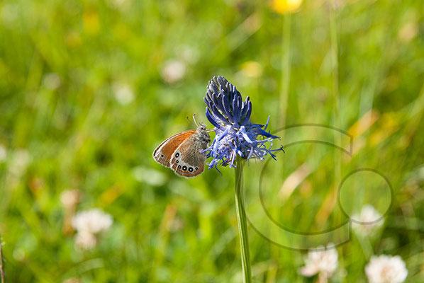 110629_DSC0018 Schmetterling Nachtfalter Tagfalter