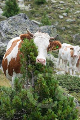 120808_DSC0519 Kuh Südtirol Italien