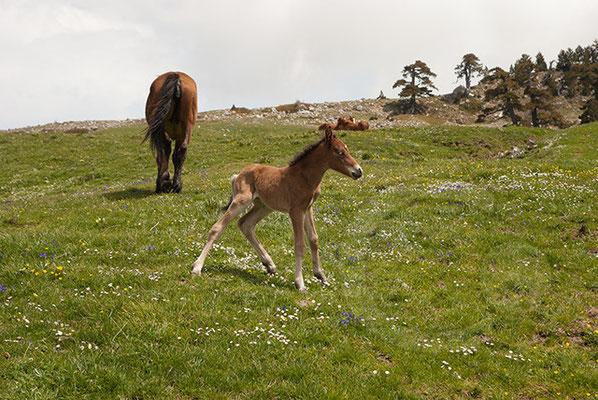 110522_DSC0234 Wildpferd Pollino