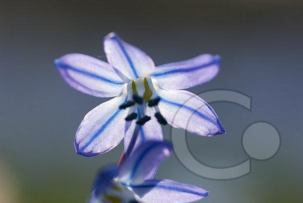100330_DSC0073 Scilla sibirischer Blaustern
