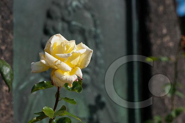 100930_DSC0006 Rose