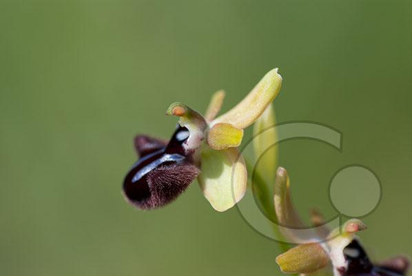 110525_DSC0075 Ragwurz Orchidee