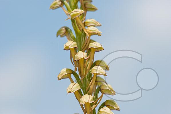 110525_DSC0165 Zweizünglein Orchidee