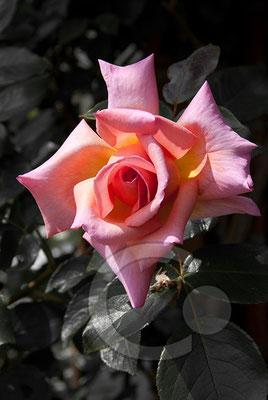 090519_DSC0002 Rose