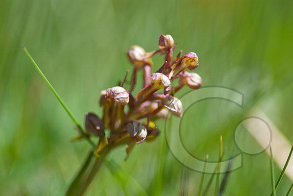 110630_DSC0115 Orchidee