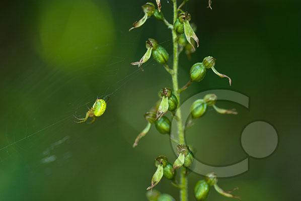 100705-058 Orchidee