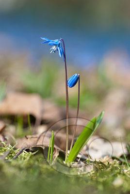 100330_DSC0056 Scilla sibirischer Blaustern