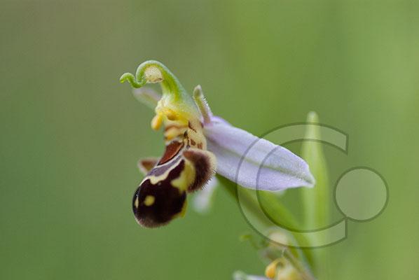 110602_DSC0704 Ragwurz Orchidee