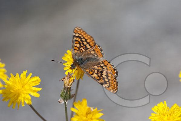 110525_DSC0105 Schmetterling Nachtfalter Tagfalter