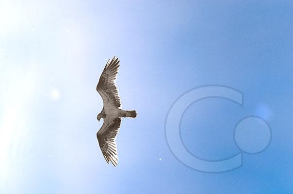 140801_RAW9572_Nationalpark-unteres-Oderauetal - Fischadler