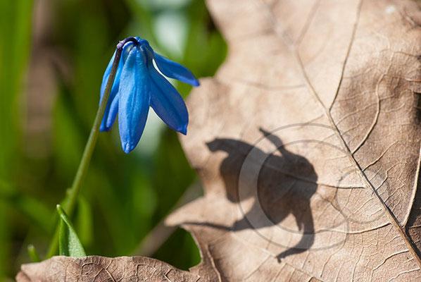 100406_DSC0054 Scilla sibirischer Blaustern