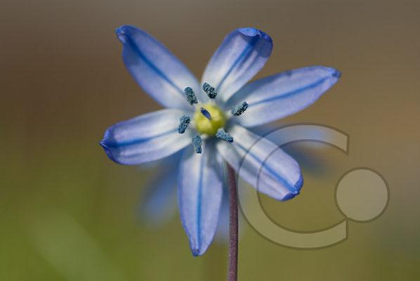 100330_DSC0064 Scilla sibirischer Blaustern