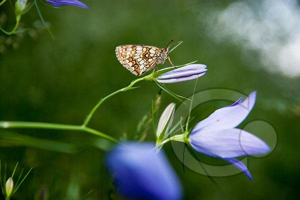 100706-004 Schmetterling Nachtfalter Tagfalter