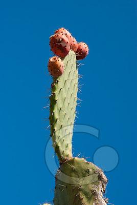 100917_1606 Kaktus Lipari Äolische Inseln