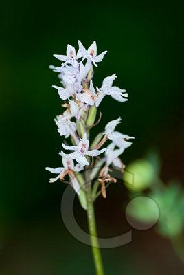 100705-069 Orchidee