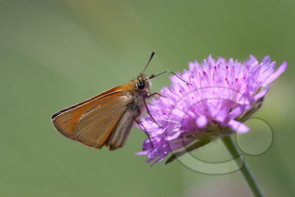 100705-147 Schmetterling Nachtfalter Tagfalter