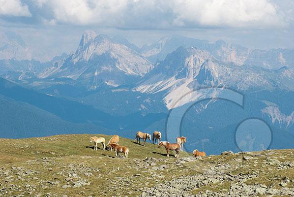 120807_DSC0496 Gedrumjoch Haflinger Südtirol Italien