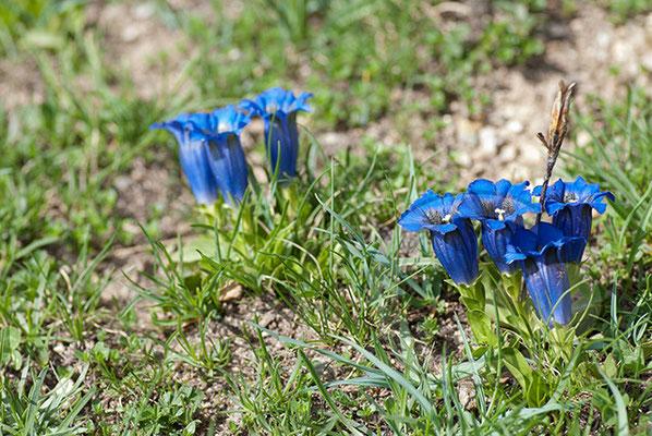 100710-096 blauer Enzian