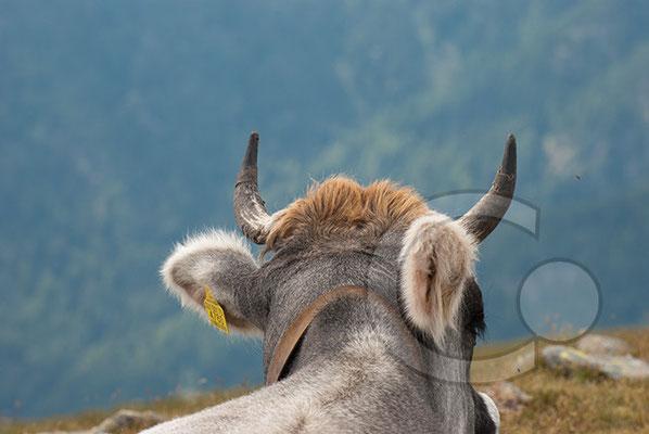 120808_DSC0554 Kuh Südtirol Italien