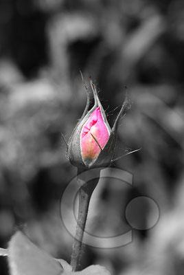 100615_DSC0124 Rose Knospe